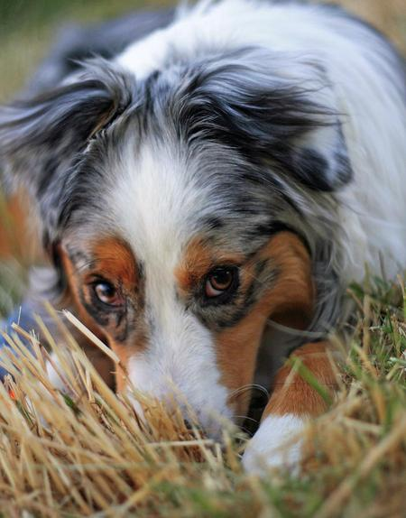 Meeko the Australian Shepherd Pictures 536610