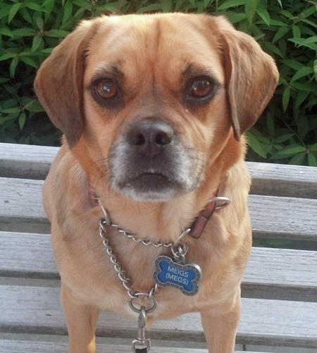 Meigs the Puggle Pictures 918431