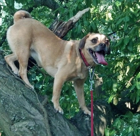Meigs the Puggle Pictures 918432