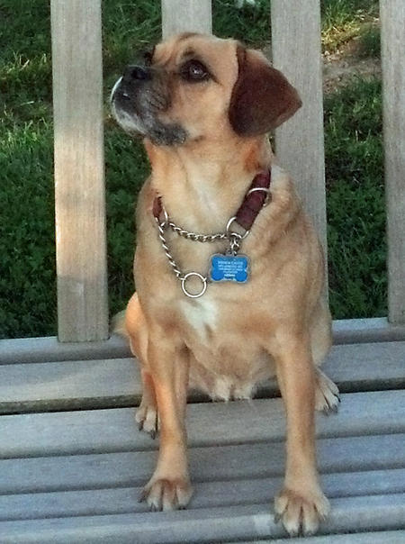 Meigs the Puggle Pictures 918428