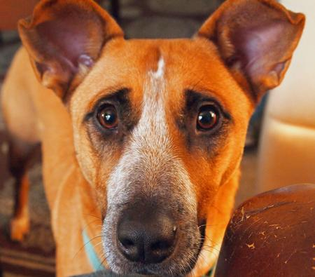 Mhari the Australian Cattle Dog Mix Pictures 844636
