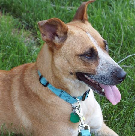 Mhari the Australian Cattle Dog Mix Pictures 844634