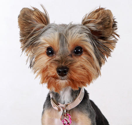 Mia the Yorkie Pictures 1038034