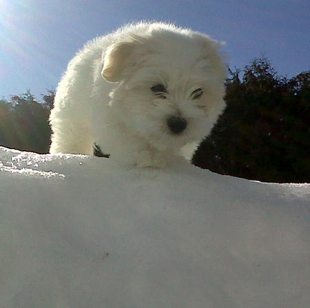 Mickey the Coton De Tulear  Pictures 955892