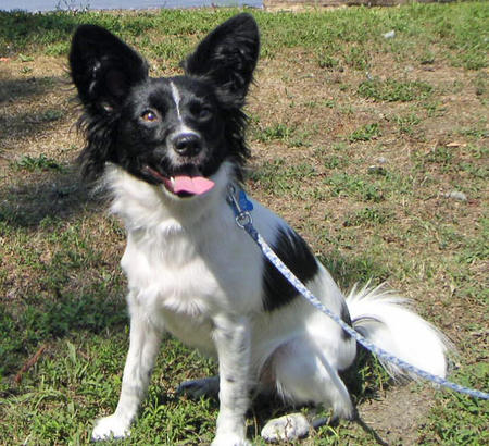 Mickey the Papillon Pictures 960278
