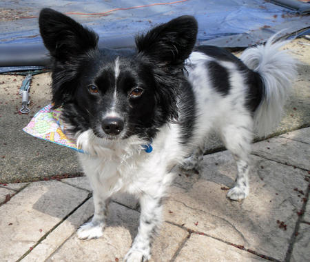 Mickey the Papillon Pictures 960279