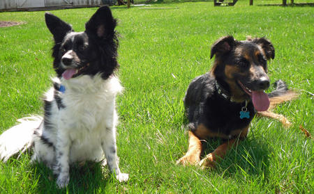 Mickey the Papillon Pictures 960280