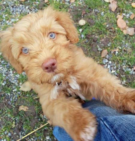 Midas the Australian Labradoodle Pictures 1030732