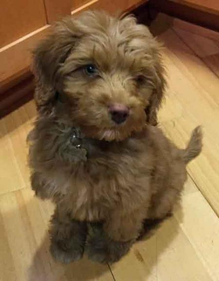 Midas the Australian Labradoodle Pictures 1030735