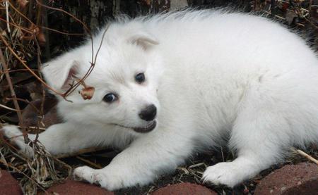 Mika the American Eskimo Pictures 719999