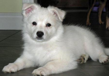 American Eskimo Puppies On Mika The American Eskimo Puppies Daily ...
