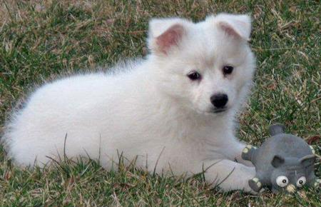 Mika the American Eskimo Pictures 561256