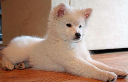 Mika the American Eskimo Pictures 719998