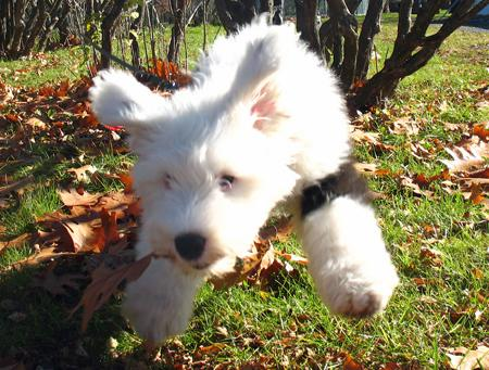 Mika the Old English Sheepdog Pictures 712522