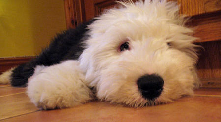 Mika the Old English Sheepdog Pictures 712525
