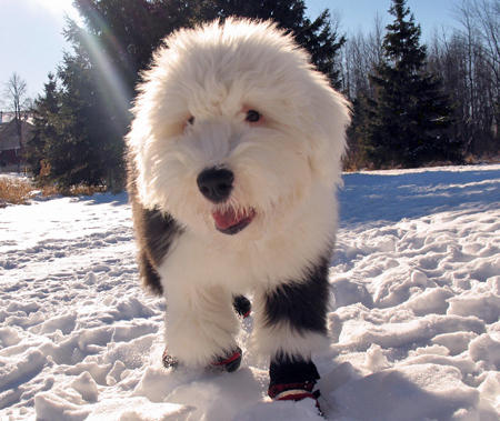 Mika the Old English Sheepdog Pictures 712526