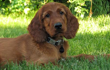 Miles the Irish Setter Pictures 612239