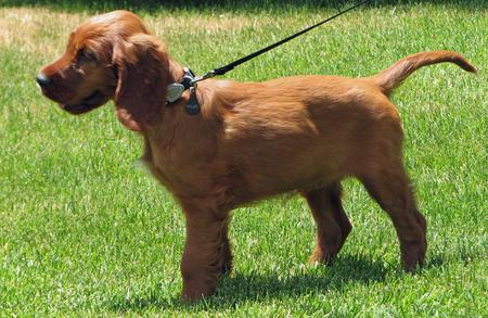 Miles the Irish Setter Pictures 612245