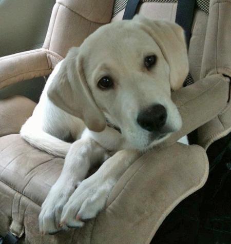 Miles the Labrador Retriever Pictures 674813