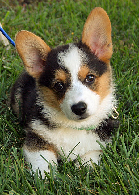 Miles the Pembroke Welsh Corgi Pictures 894978