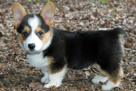 Miles the Pembroke Welsh Corgi Pictures 894979