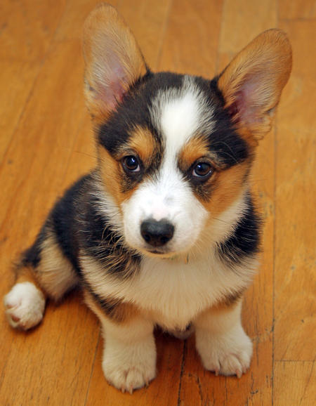 Miles the Pembroke Welsh Corgi Pictures 894980