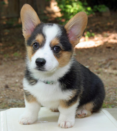 Miles the Pembroke Welsh Corgi Pictures 894977