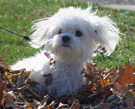 Miley the Maltese Mix Pictures 467198
