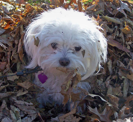 Miley the Maltese Mix Pictures 467200