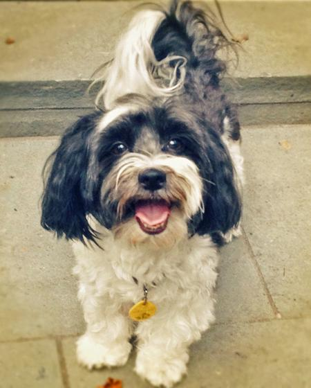 Millie the Havanese Pictures 1058400