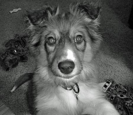 Millie the Sheltie Mix  Pictures 952946