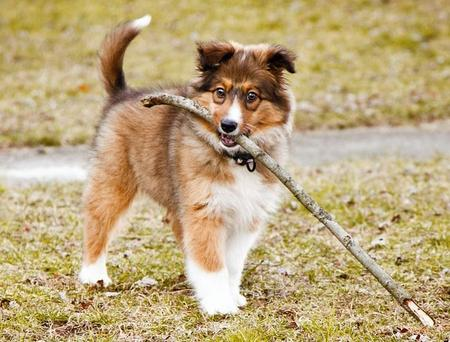 Millie the Sheltie Mix  Pictures 952944