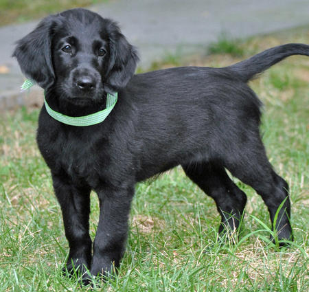 Milly the Flat-Coated Retriever Pictures 686976