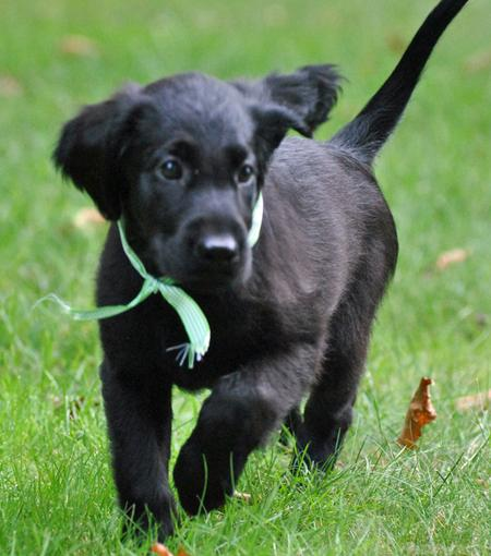 Milly the Flat-Coated Retriever Pictures 686977