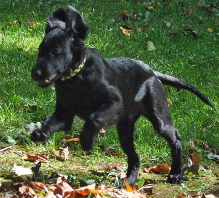 Milly the Flat-Coated Retriever Pictures 686979