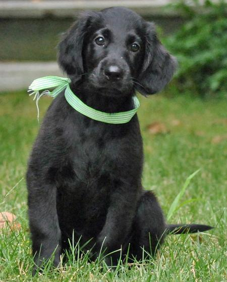 Milly the Flat-Coated Retriever Pictures 686975
