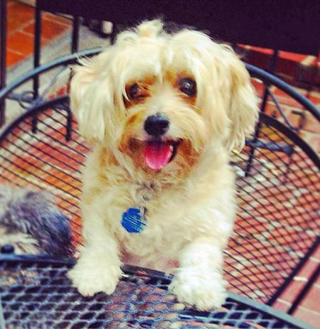Milo the Bichon Frise Mix Pictures 1015641