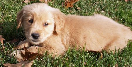 Milo the Golden Retriever  Pictures 479916