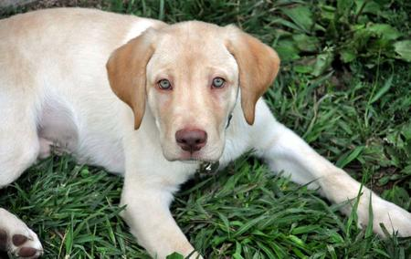 Yellow Lab With Blue Eyes Milo the labrador retrieverYellow Lab With Blue Eyes