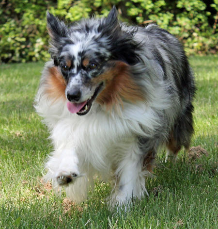 Milo the Miniature Australian Shepherd Pictures 1017232