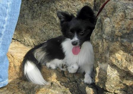 Milo the Papillon Mix Pictures 566317