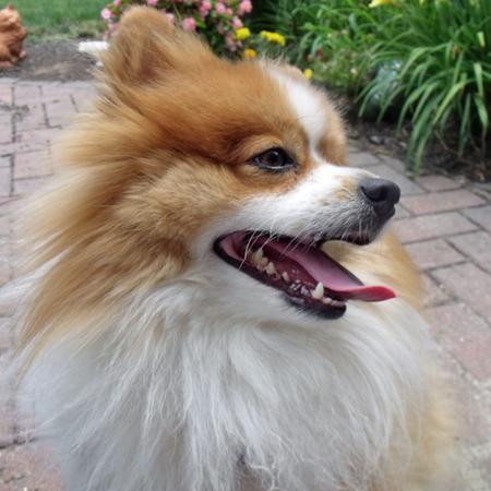 Milo the Pomeranian Pictures 811460