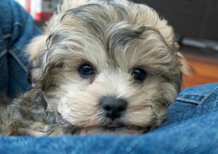 Milo the Poodle Mix Pictures 988137