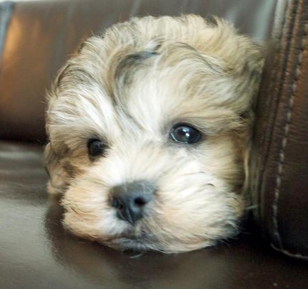 Milo the Poodle Mix Pictures 988138