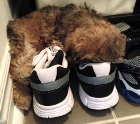 Milo the Poodle Mix Pictures 988139