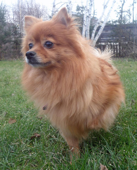 Mindy the Pomeranian Mix Pictures 994093