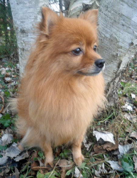 Mindy the Pomeranian Mix Pictures 994094