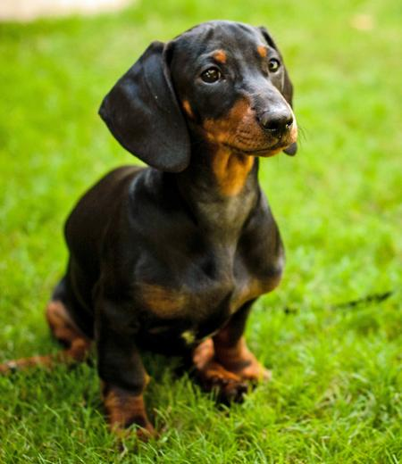 Minnie the Dachshund Pictures 963307