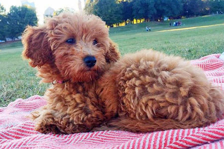 Minnie the Goldendoodle  Pictures 1046871