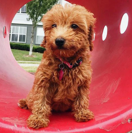 Minnie the Goldendoodle  Pictures 1046873